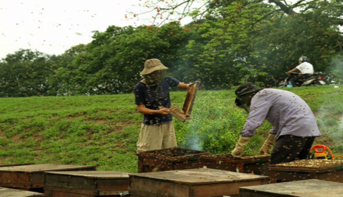 Khai thác mật ong Hưng Yên