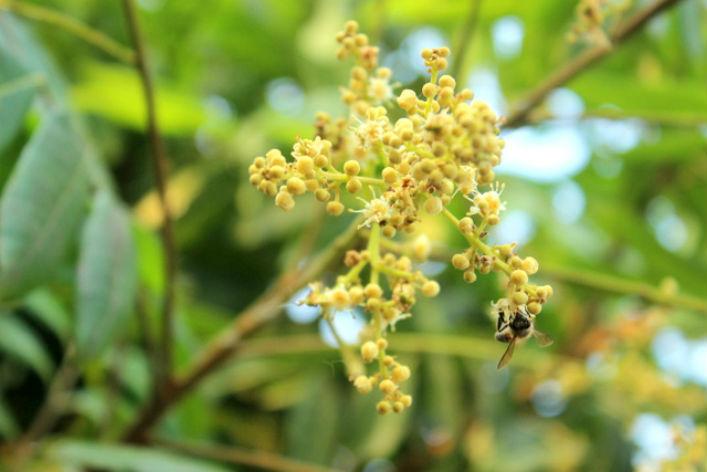 Khi nào mật ong hoa nhãn Hưng Yên vào chính vụ