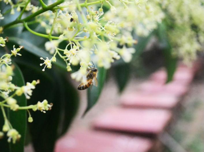 Mật ong hoa vải(1)