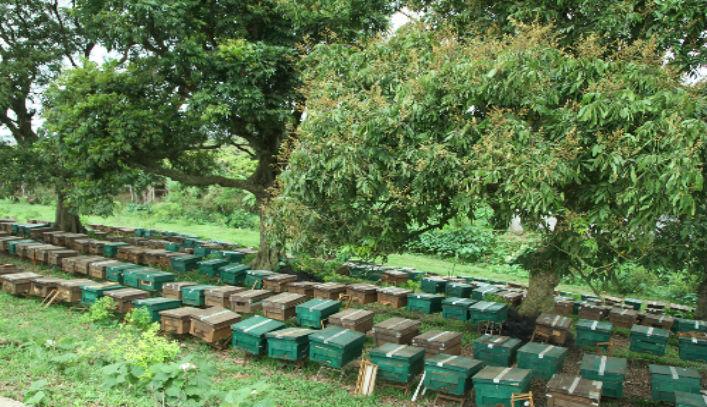 Quy trình khai thác mật ong hoa nhãn