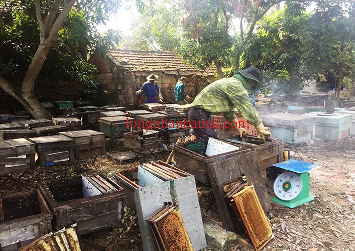 Quy trình khai thác thu hoạch mật ong nhãn
