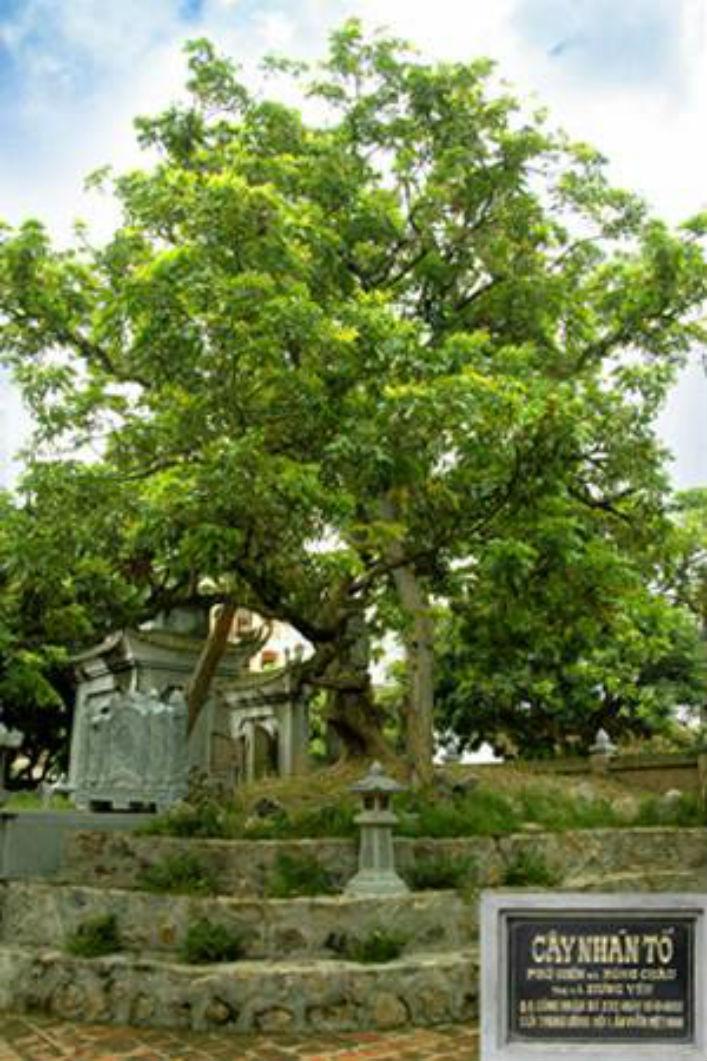 Sự tích cây nhãn tổ- Nguồn gốc của nhãn lồng Hưng Yên(1)