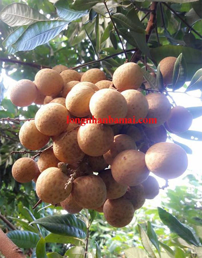 Nhãn được trồng theo tiêu chuẩn VietGap tại Hưng Yên