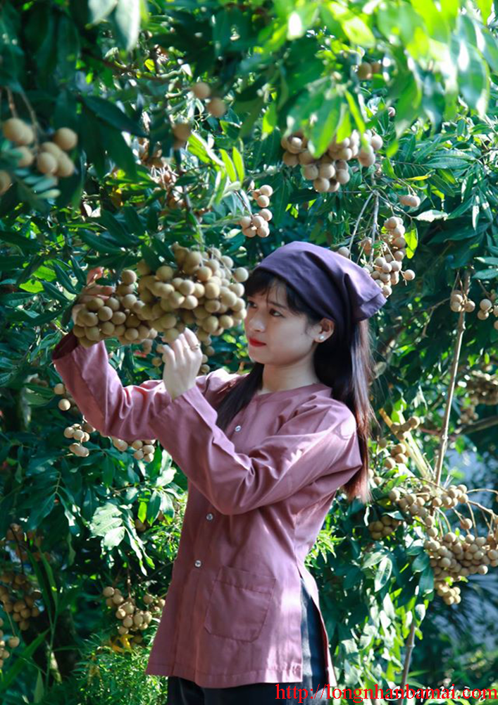 Bán nhãn lồng Hưng Yên chất lượng cao tại Hà Nội-3