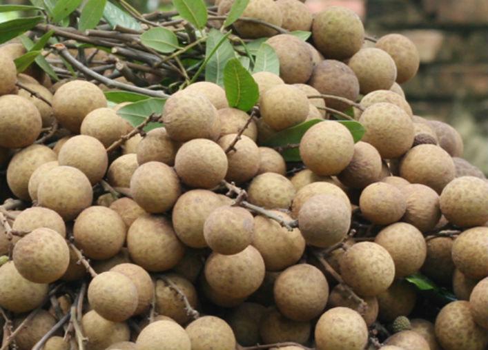 Tiếc nuối sự tuyệt chủng của cây nhãn đường phèn ở Hưng Yên-1