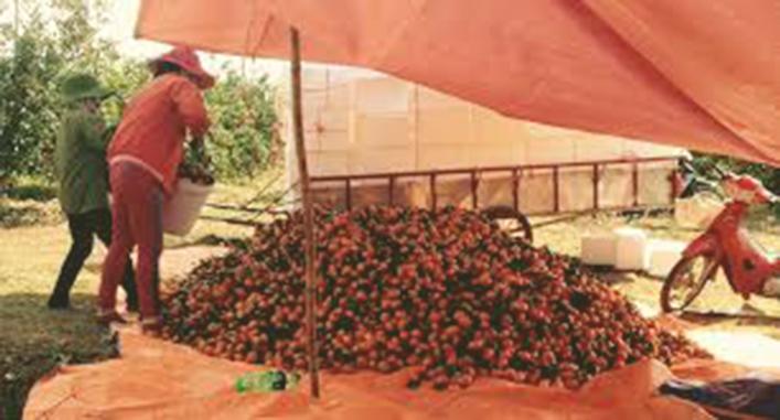 Quá trình thu hoạch và phân loại vải tươi
